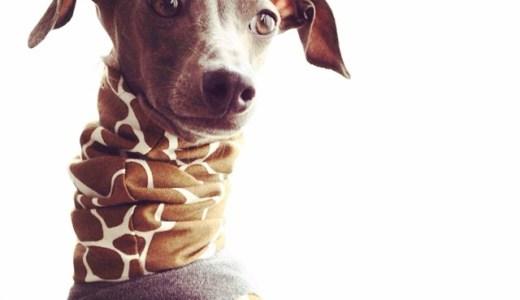「イタグレ犬服」イタキリン追加販売を開始しました「9秒動画」も観れます!
