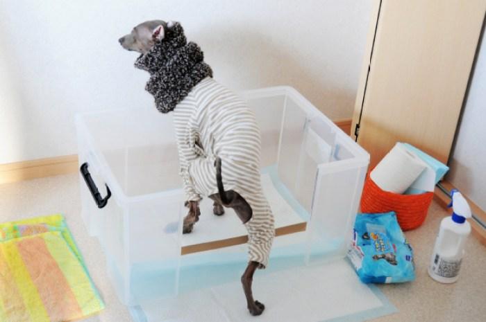 「愛犬のトイレ」イタグレブオノ!♂のトレイを見てみたい?