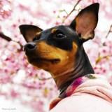 「淡路島でお花見」お茶目なミニピン桜さん、春らしい桜色のお洋服でお洒落して、淡い桜の花びらに包まれる。これぞ桜桜桜で桜さん♪