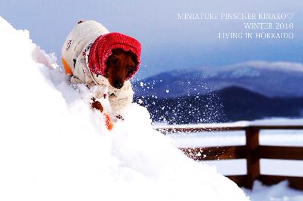 ミニピン♡きなこちゃんが凄すぎる!!!雪山の中を走り回る!?いや飛び回る!!