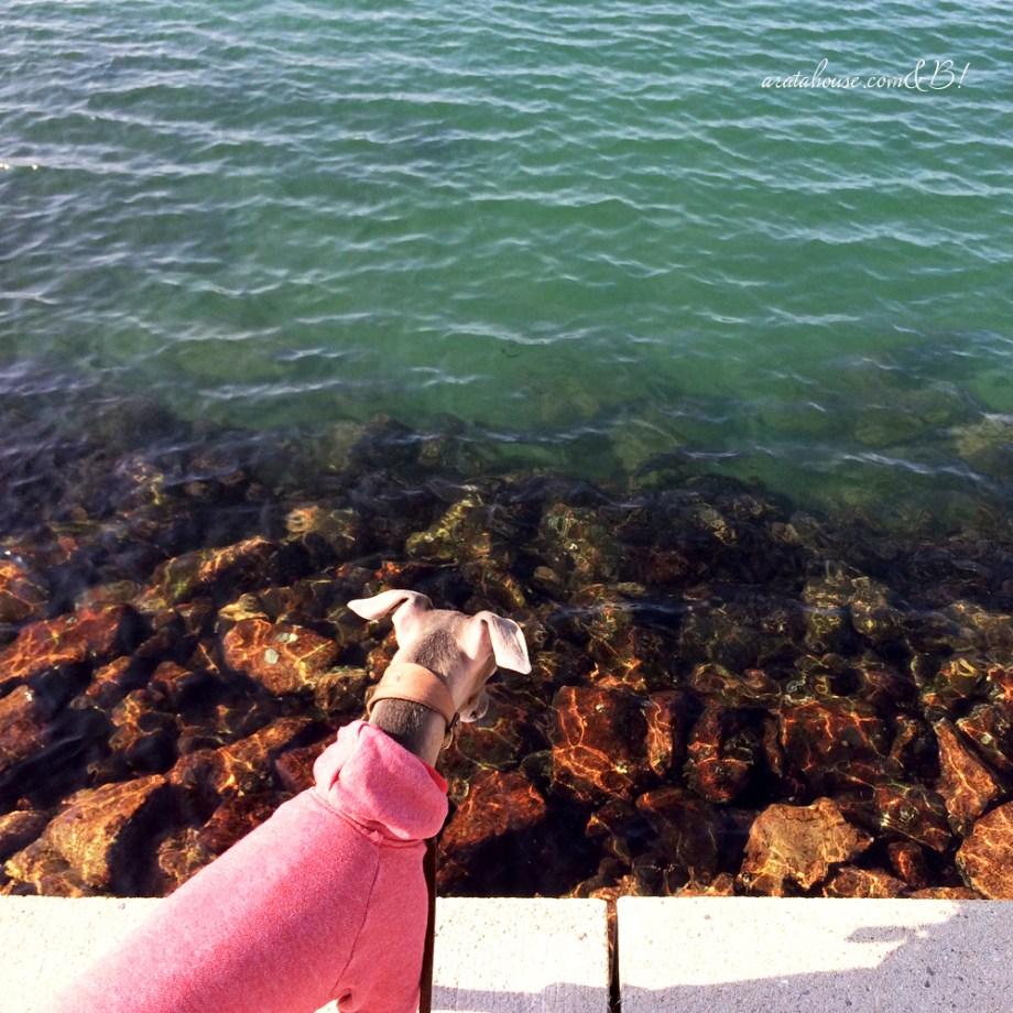 「淡路島の暮らし」イタグレBuono!と海辺をちょこっと散歩、鰯の大群にBuono!は!?