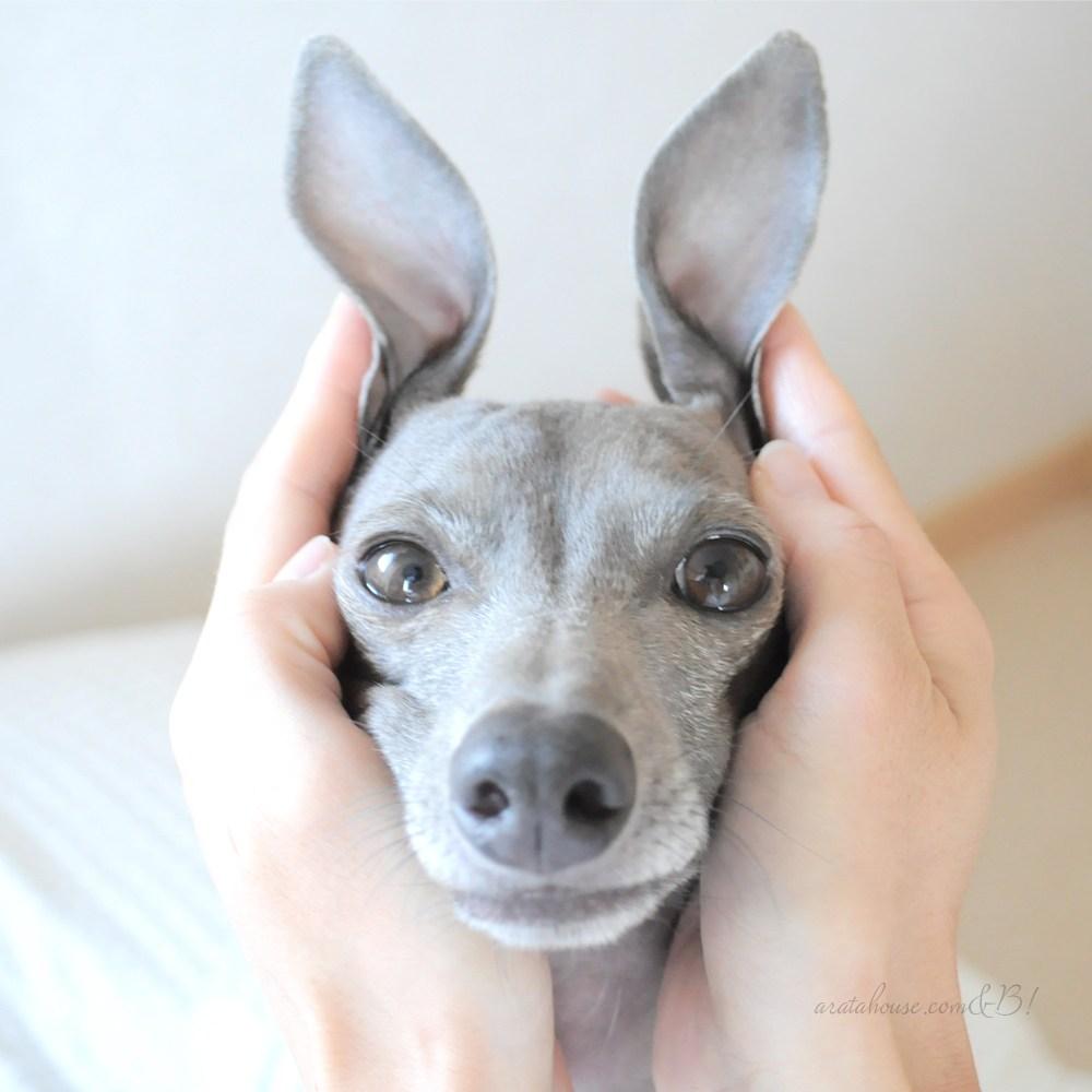 皆さんの愛犬の着飾っていない本当の姿を教えて下さい!