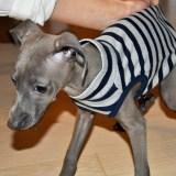 犬服お届け日の考察:イタグレ・ミニピン服30店の平均の発送日数は?