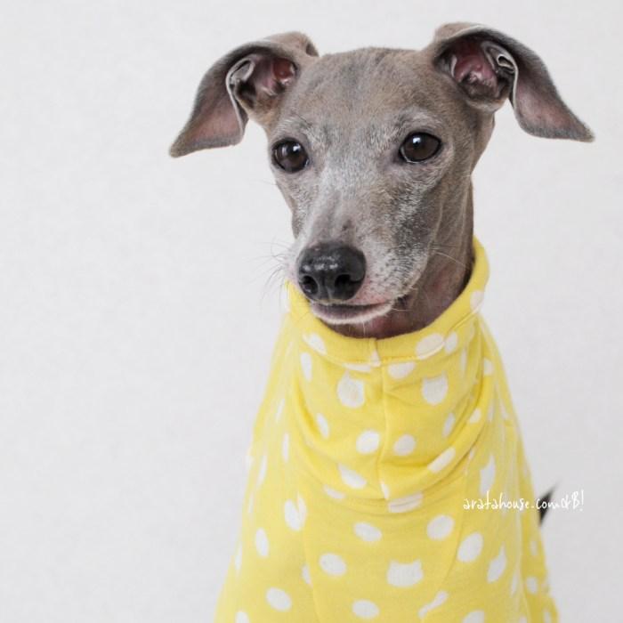イタグレの寒い季節の体調管理は肌触りと通気性が良い犬服がオススメ