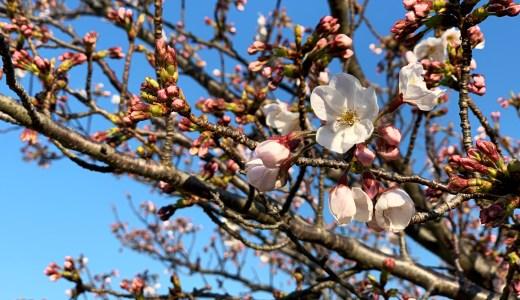淡路島にも桜が咲き始めました。