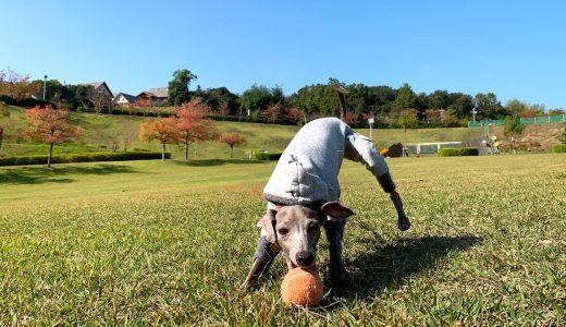幸せな、いぬとの、暮らし、それは、同じ、景色を、見れること、青い空、|イタグレBuono!の秋の散歩