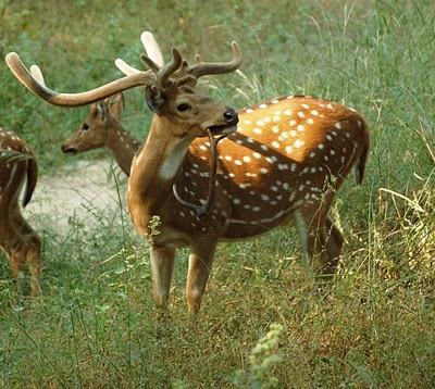Is deer a really pure herbivore?