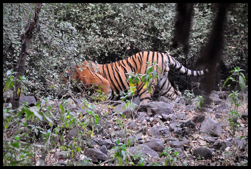 Tiger mayhem in Ranthambore