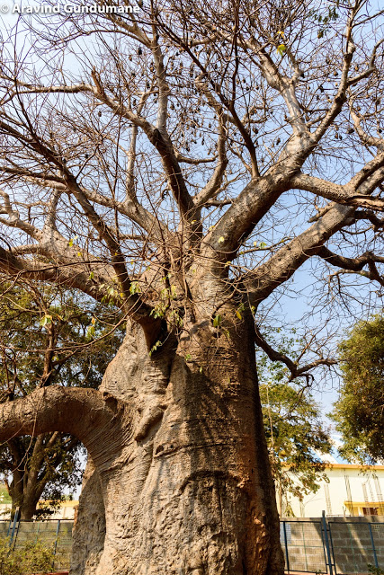 Baobab trees of Savanur
