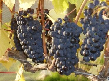 Aravin Pinot Noir