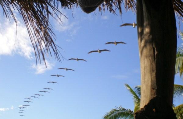 pelicans-en-escadrille.jpg