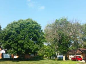 ash tree 2016 - treated vs untreated