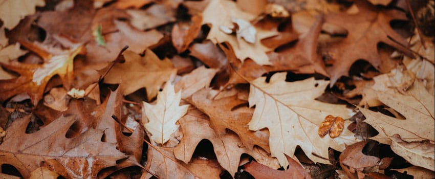 fallen leaves for leaf mold, leaf compost