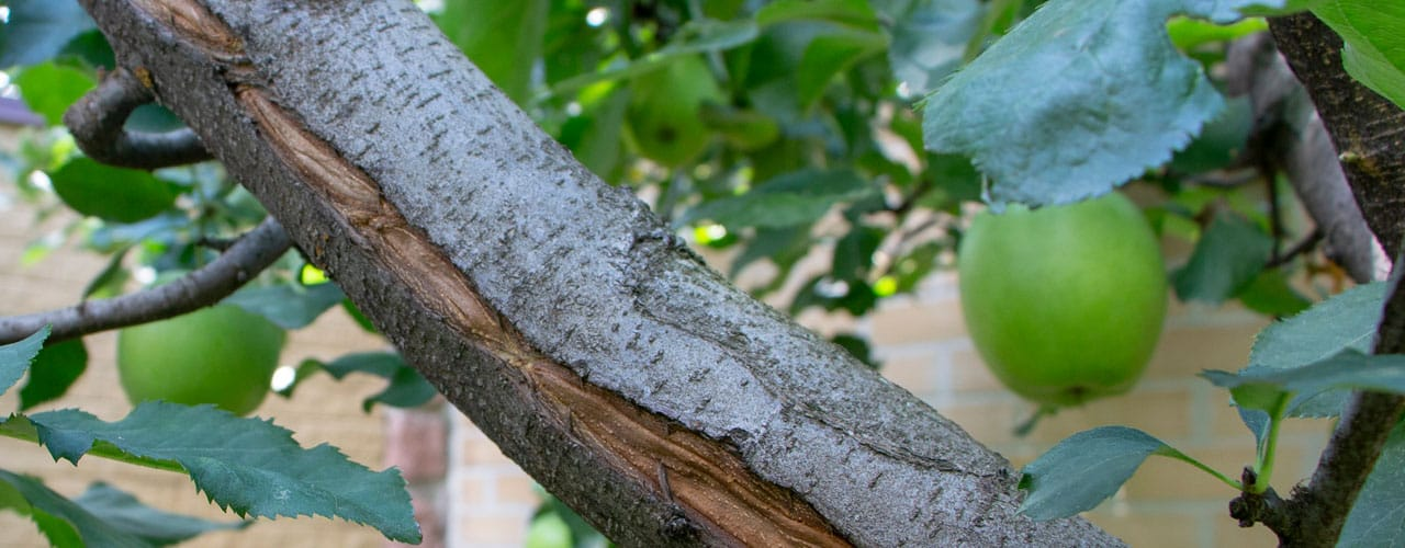 frost crack on apple tree