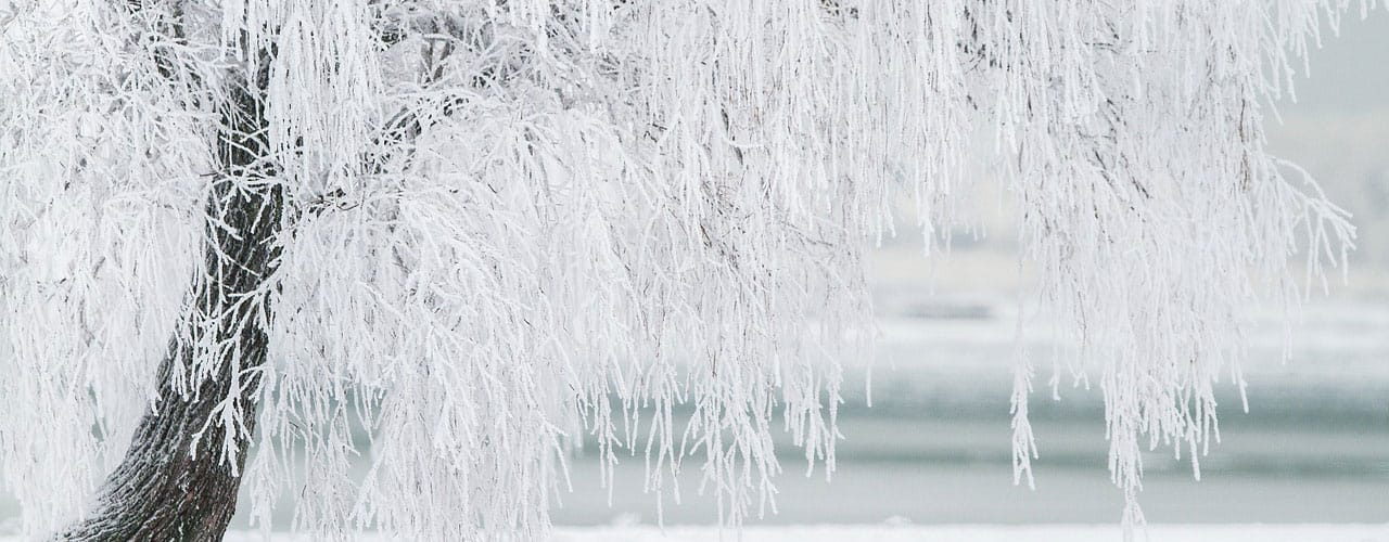 ice covered tree