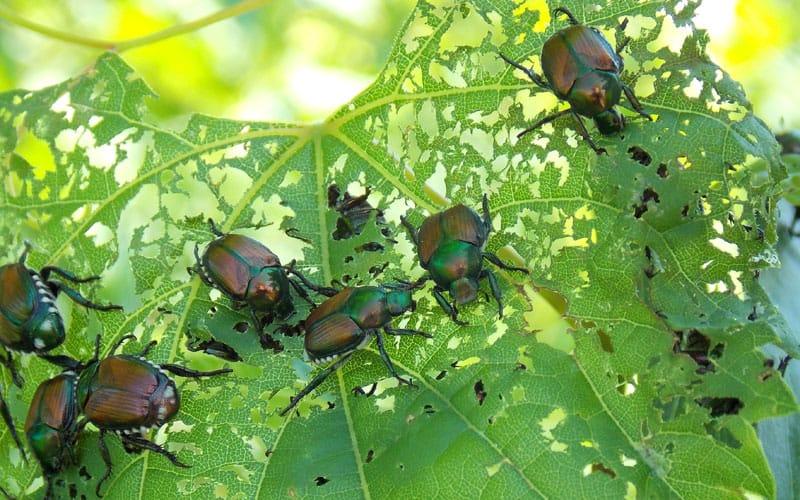 japanese beetles feeding