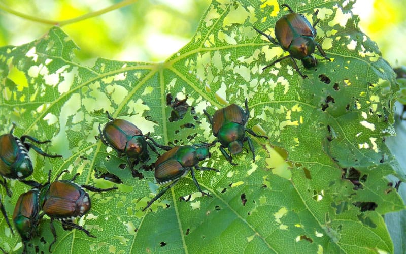 japanese beetles feeding