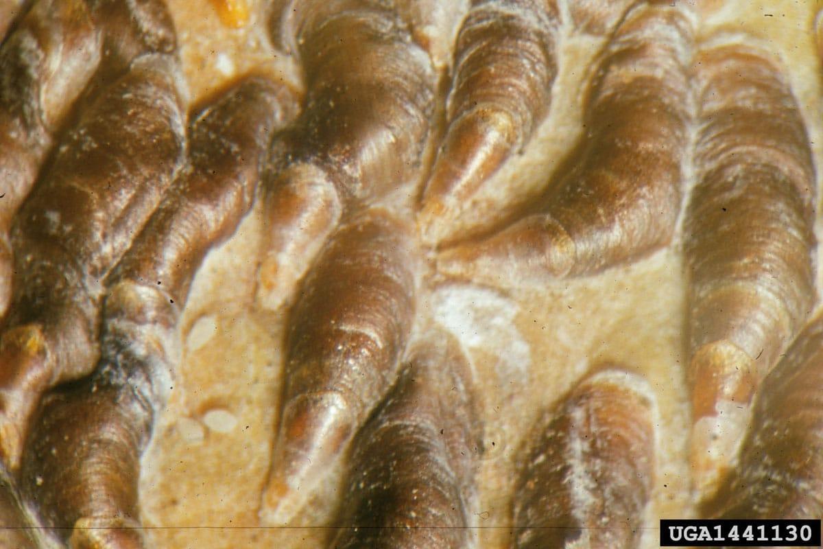Oystershell scale (Lepidosaphes ulmi)