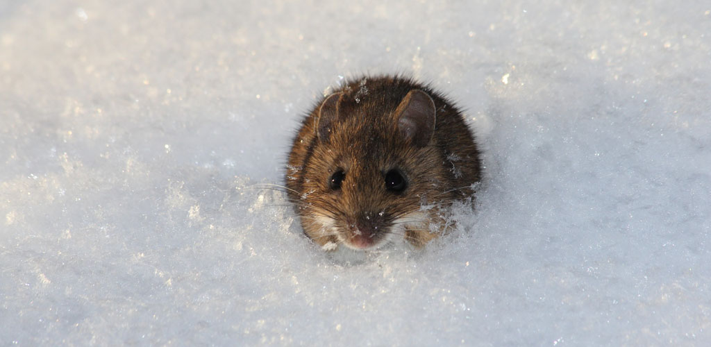 A mouse or vole surrounded by snow in Ohio