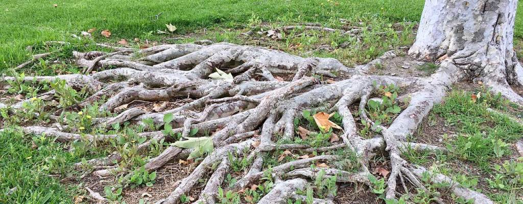 tree roots above ground causing a tripping hazard
