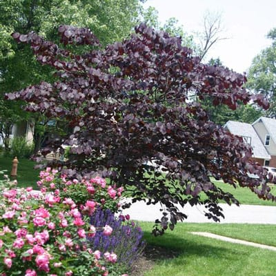 'Forest Pansy' redbud - small tree for Dayton, OH