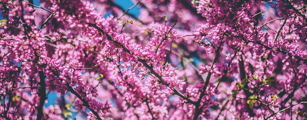 Best Spring Flowering Trees To Plant In Dayton Ohio Arbor Experts