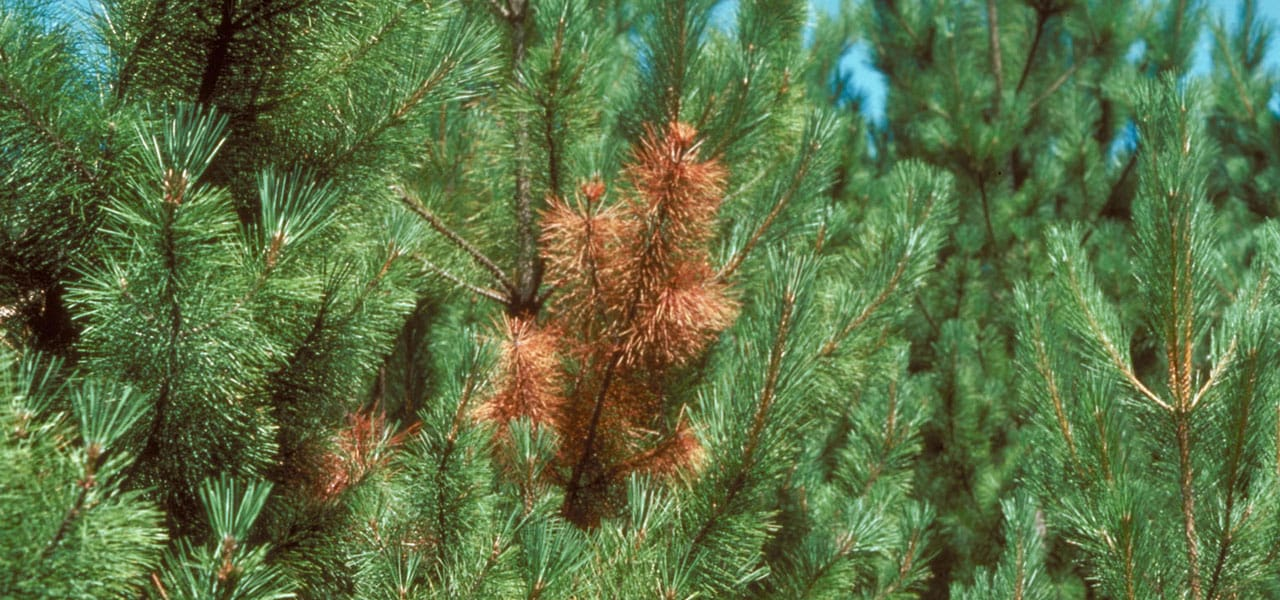 diplodia tip blight diseases on pine trees