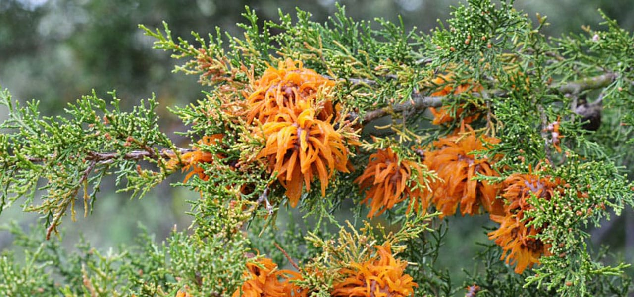 tree diseases - cedar apple rust