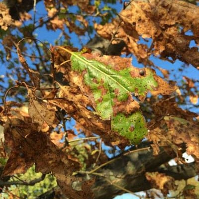 browning leaves from dry weather in Dayton, Ohio