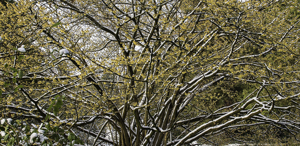 flowers on a witch hazel shrub in early spring before leaves emerge