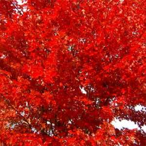red maple 'Autumn Blaze'