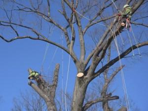 ケヤキ、巨木の剪定