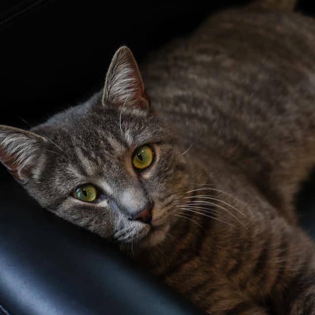 Fuzz - Office Cat
