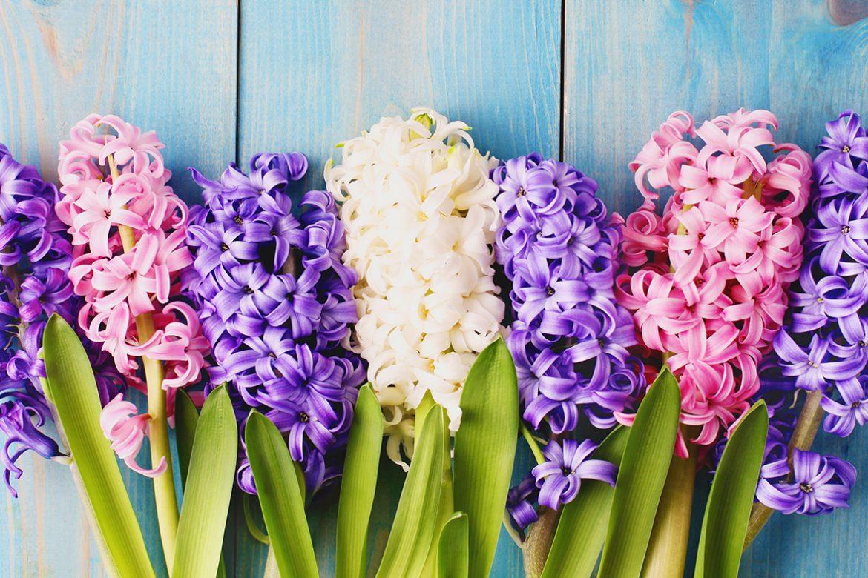 Que faire avec mes jacinthes trop fleuries…