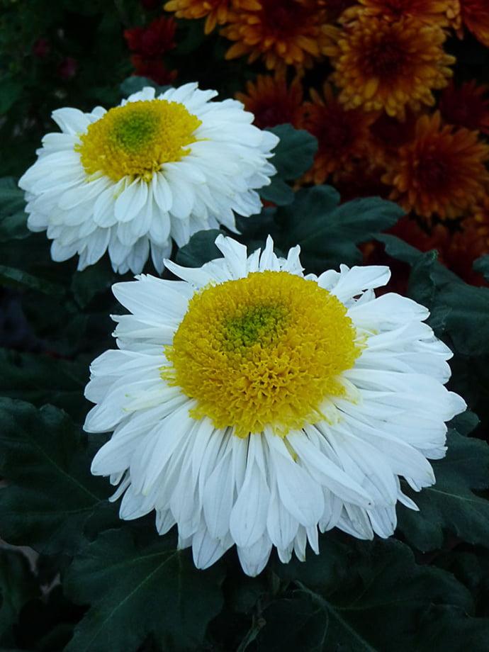 chrysanthème oeuf