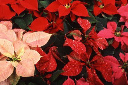 Zoom sur : le Poinsettia ou Etoile de Noël