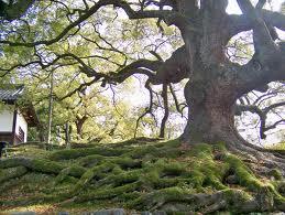 Splendeur du camphrier ou cinnamum camphora
