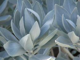 feuilles de sauge blanche