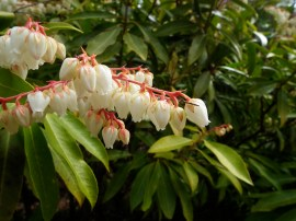 Moutain Pieris (Pieris floribunda)