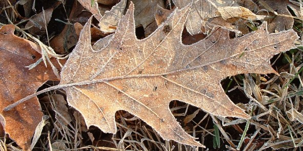 Northern Red Oak (Quercus rubra) (photo by FlickrLickr)