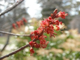 Red Maple (Acer rubrum): male flower