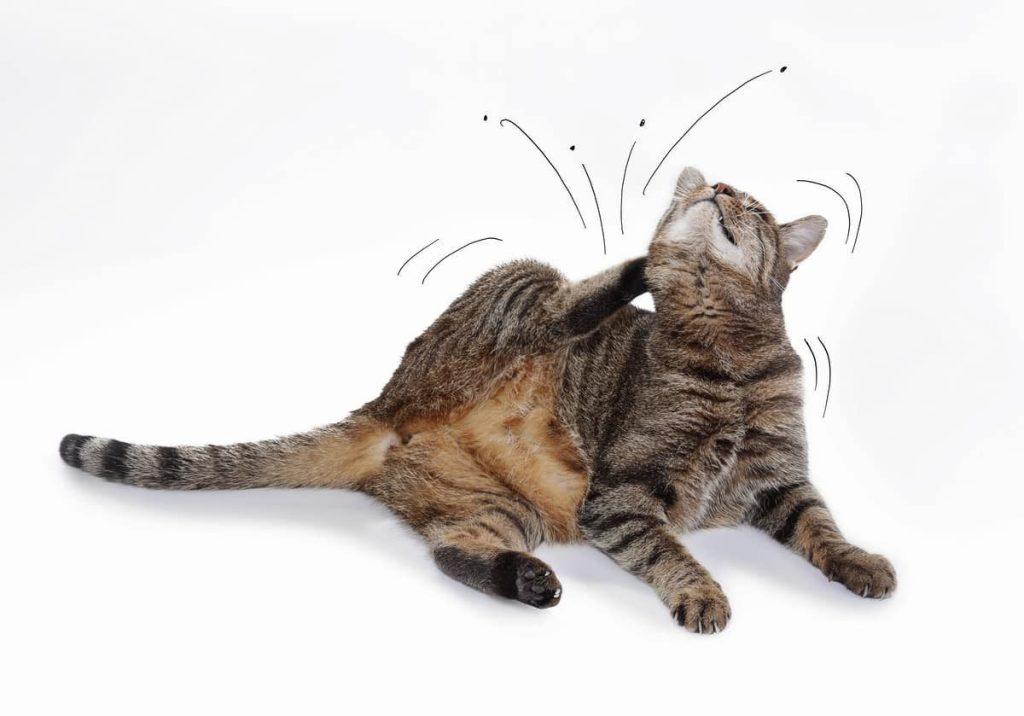 chat grattant ses puces