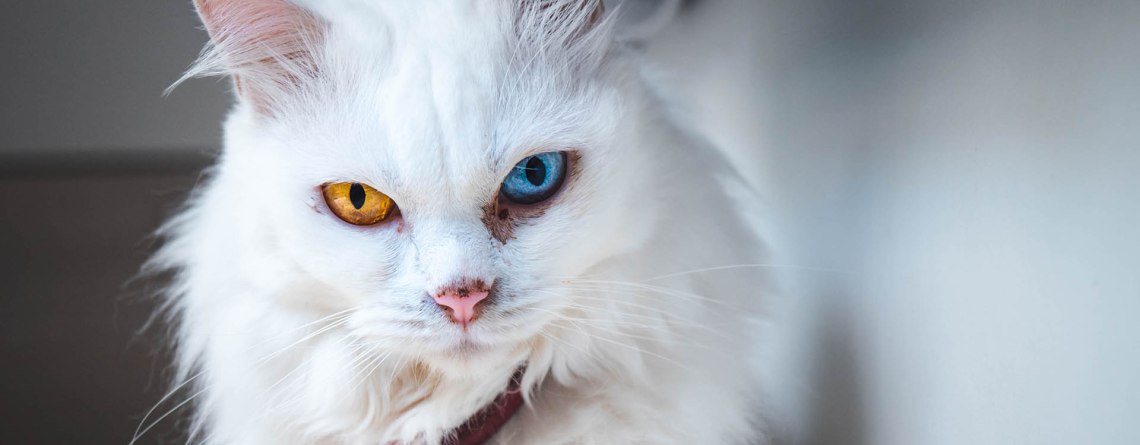 chat-angora-turc