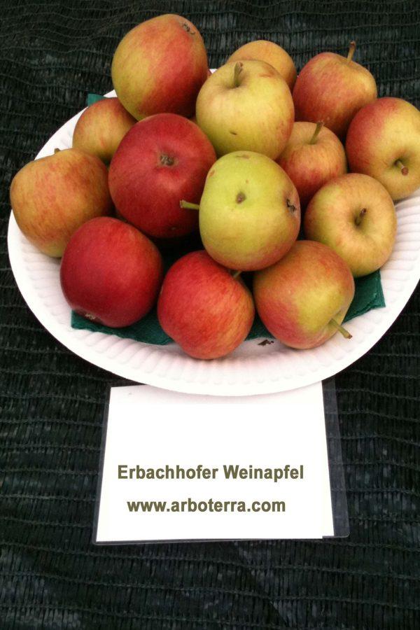 Erbachhofer Weinapfel - Apfelbaum – Alte Obstsorten Arboterra GmbH