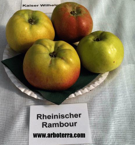 Rheinischer Winterrabour - Apfelbaum – Alte Obstsorten Arboterra GmbH
