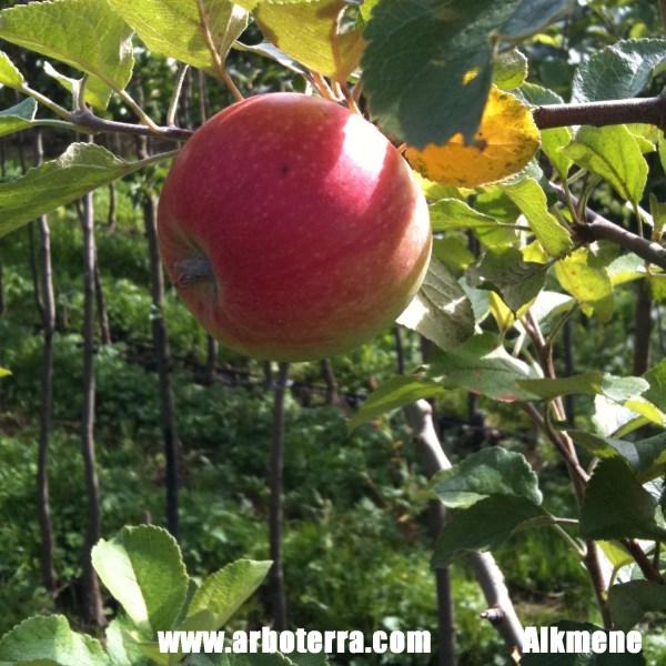 Alkmene - Apfelbaum – Alte Obstsorten Arboterra GmbH