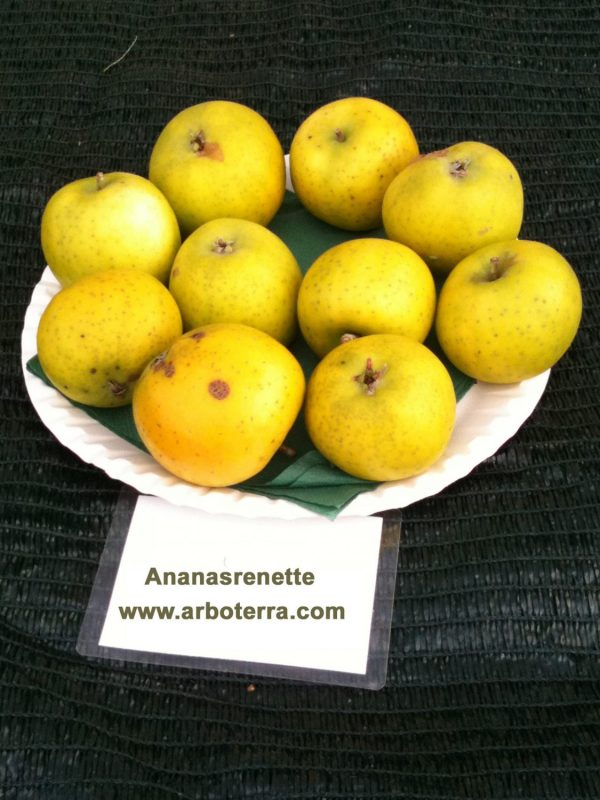 Ananasrenette - Apfelbaum – Alte Obstsorten Arboterra GmbH