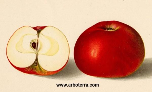Baumanns Renette - Apfelbaum – Alte Obstsorten Arboterra GmbH
