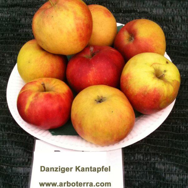 Danziger Kantapfel - Apfelbaum – Alte Obstsorten Arboterra GmbH