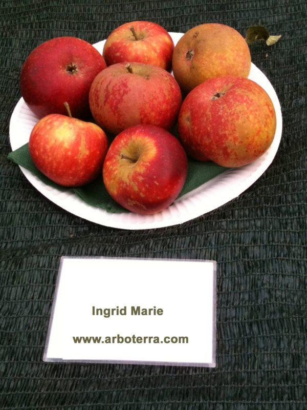 Ingrid Marie - Apfelbaum – Alte Obstsorten Arboterra GmbH